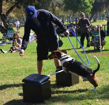 AKC Events for Basset Hounds